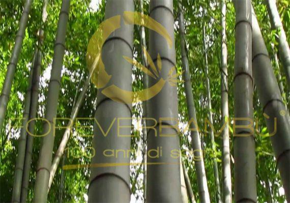 Il bambù gigante alleato dell'ambiente: Il primo studio italiano è condotto da Forever Bambù